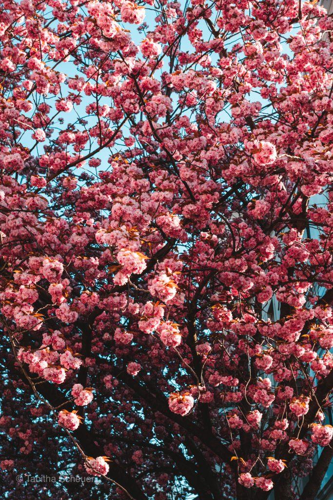 Cherry Blossoms in Bonn, Germany | Kirschblüte Bonn