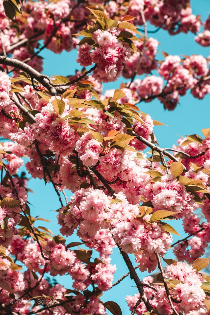 Cherry Blossoms in Düsseldorf |Germany Travel