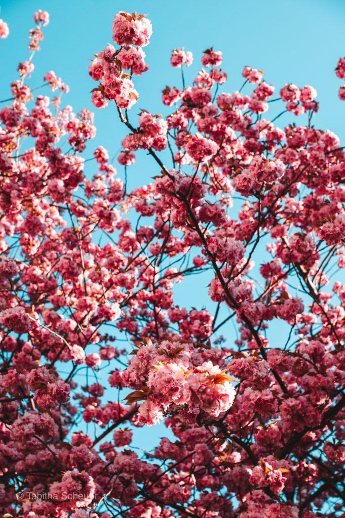 Kirschblüte in Bonn, Deutschland | Cherry Blossoms in Bonn Breite Straße