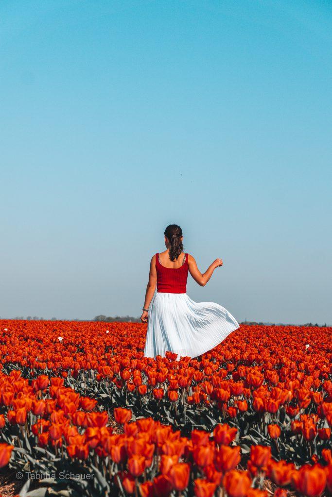 Tulip Fields in Germany |Tulip Fields Netherlands |Tulpen in Holland |Tulpen in Deutschland |Tulip Fields |Tulpen |Tulpen in Grevenbroich