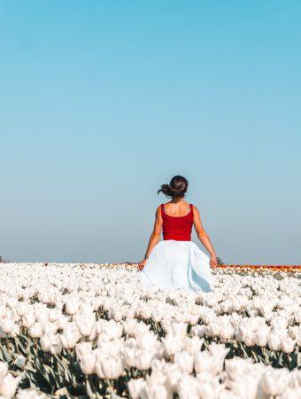Tulip Fields in Germany |Tulip Fields Netherlands |Tulpen in Holland |Tulpen in Deutschland |Tulip Fields |Tulpen |Weiße Tulpen in grevenbroich