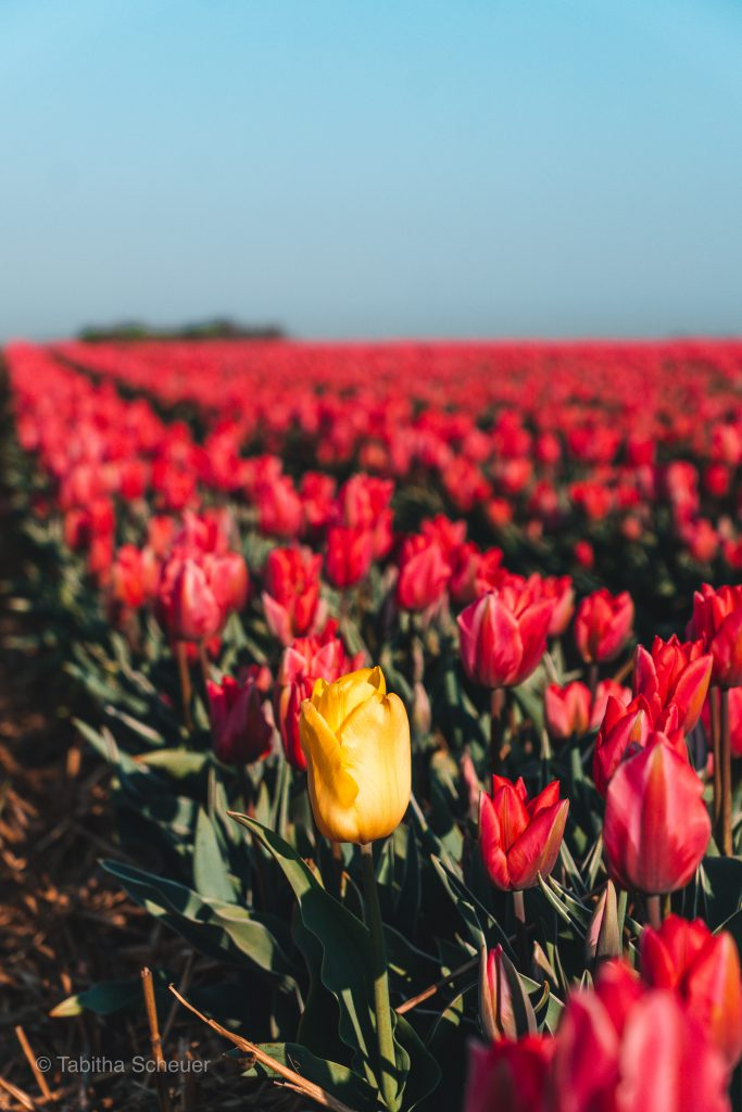 Tulips in Germany |Tulips Netherlands |Lisse | Tulips |Tulpen in Deutschland |Niederlande Tulpen |Tulpen in Holland |Pinke Tulpenfelder