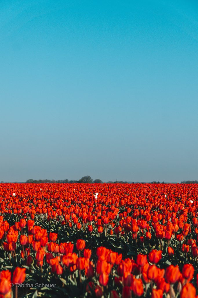 Tulips in Germany |Tulips Netherlands |Lisse | Tulips |Tulpen in Deutschland |Niederlande Tulpen |Tulpen in Holland |Tulpen Felder in Grevenbroich
