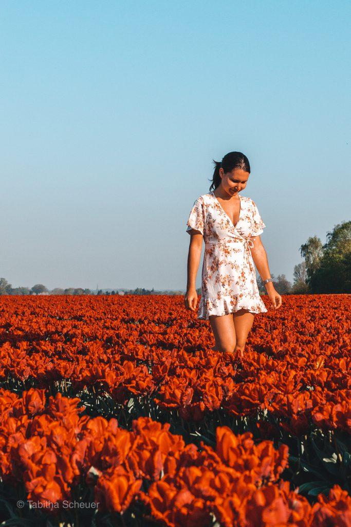 Tulips in Germany |Tulips Netherlands |Lisse | Tulips |Tulpen in Deutschland |Niederlande Tulpen |Tulpen in Holland |Tulpen in Grevenbroich