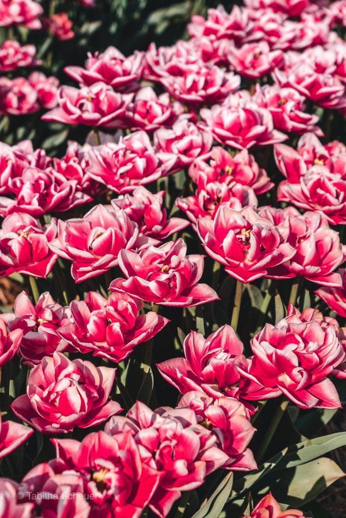 Wunderschöne Tulpen | Tulip Fields in Germany |Tulip Fields Netherlands |Tulpen in Holland |Tulpen in Deutschland |Tulip Fields |Tulpen |Pink Tulips